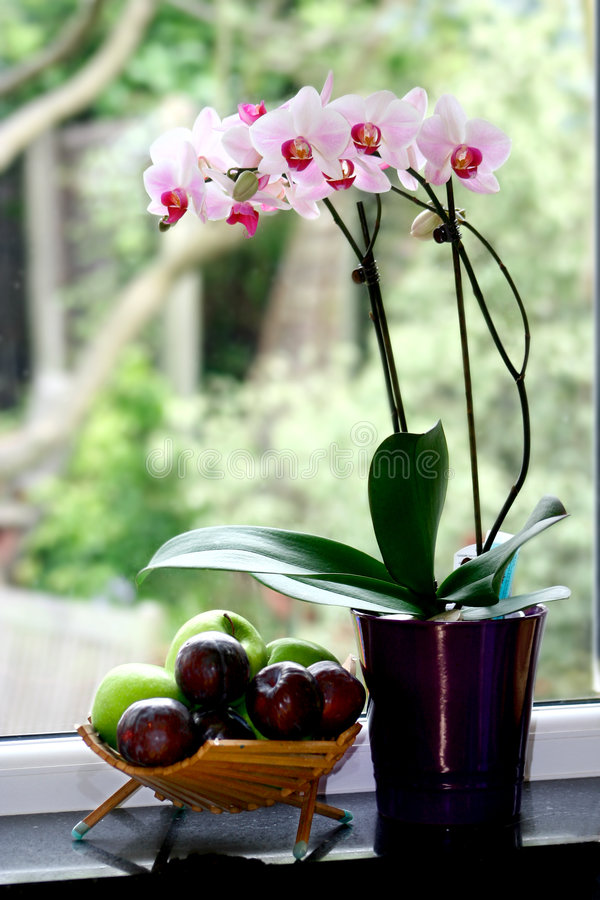 A pot of moth orchid royalty free stock photo