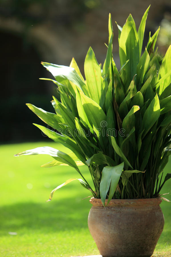 Pot plant in a garden. Large pot plant in a terracotta container growing in a garden with a neat green lawn behind stock images