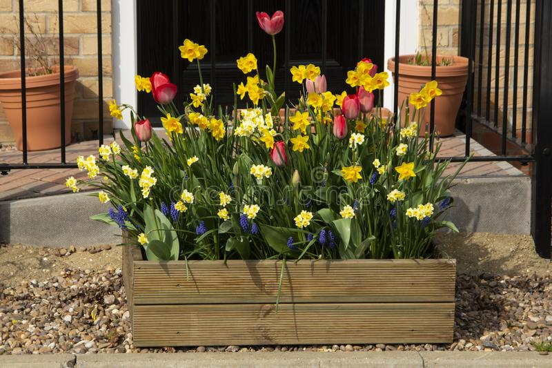 Pot and planters. Beautiful colorful tulips blooming on wooden pot outdoor. Spring time stock photography