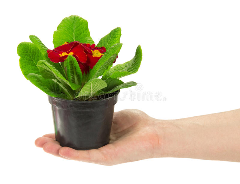 Pot with a primula in the man's hand. Isolated on white stock images