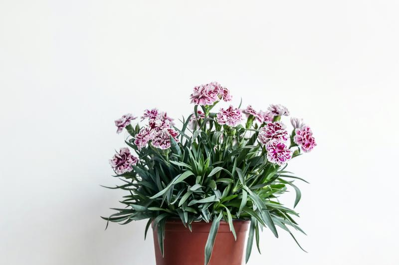 A pot of carnation flower with white wall. A pot of red carnation flower with white wall stock photos