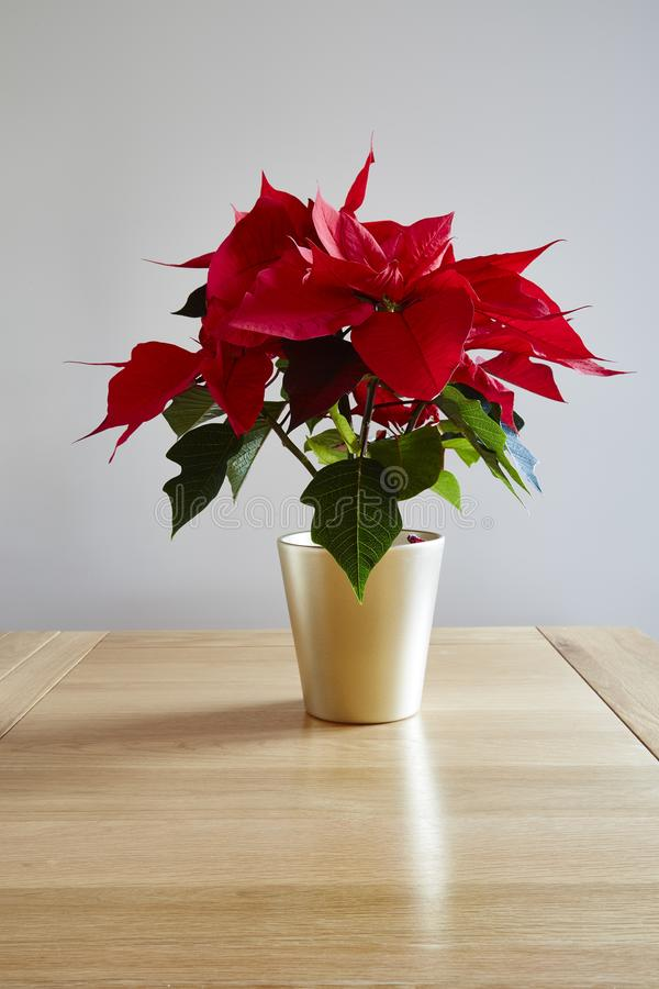 Red Poinsettia,. A pot of red Poinsettia pulcherrima,on a dining table royalty free stock image