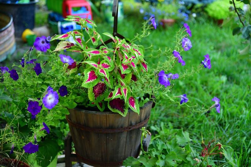 Pot van een petunia en andere bloemen in de tuin royalty-vrije stock afbeeldingen