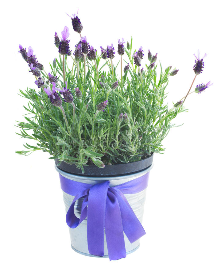 Pot van lavendelbloemen op wit stock afbeeldingen