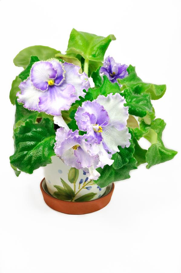 Download Pot With Wight And Violet Violets Stock Image - Image of leaves, foliage: 16706883
