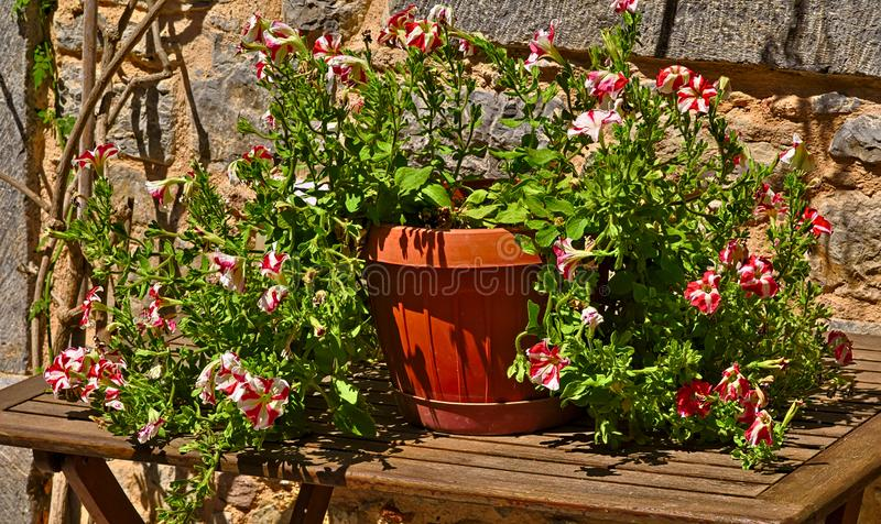 Pot wth colorful petounia flowers on wooden table stock image
