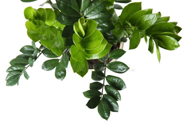 Pot with Zamioculcas home plant on white background royalty free stock photo