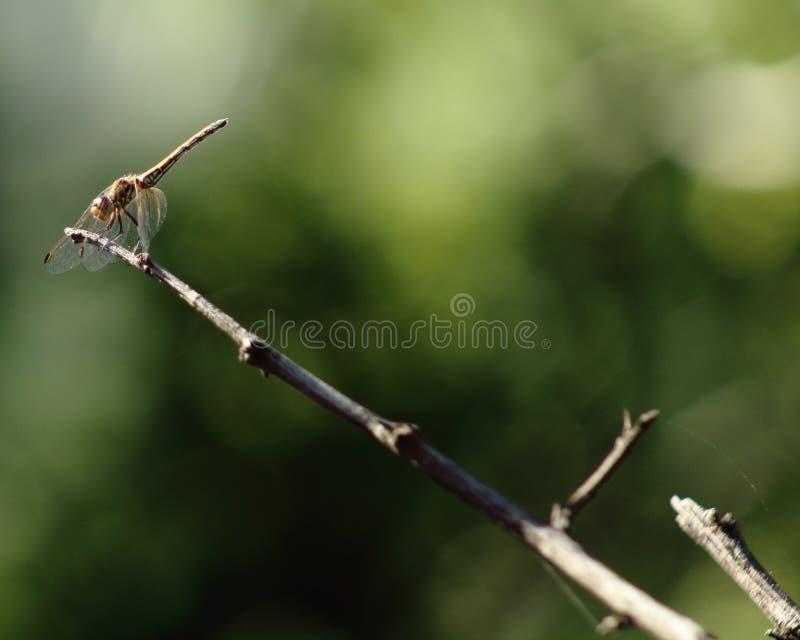 Potargany dragonfly umieszczający na poradzie gałązka zdjęcia royalty free