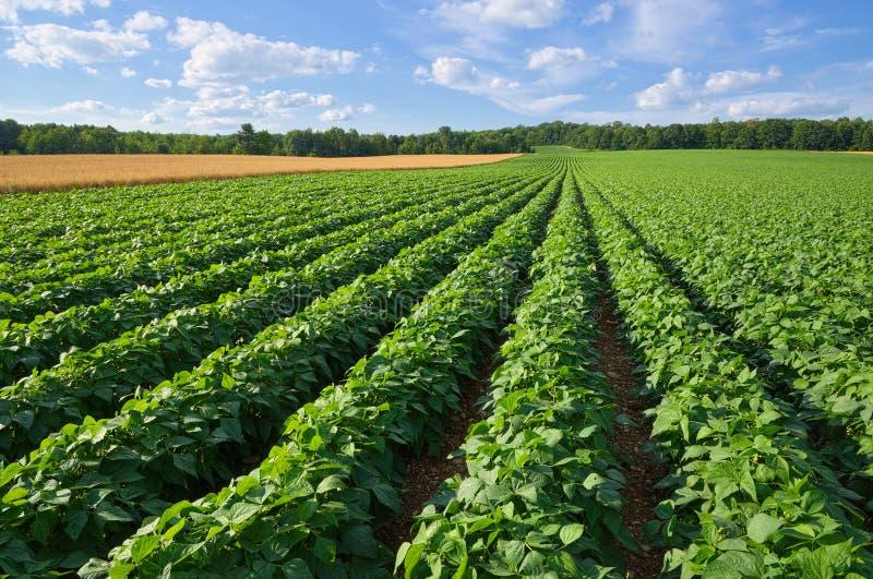Potatis- och vetefält arkivbild