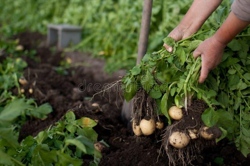 potatisar för första plockning för earlys lyftande royaltyfri bild