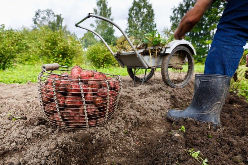Potatisar i korg i fält med bonden royaltyfri foto