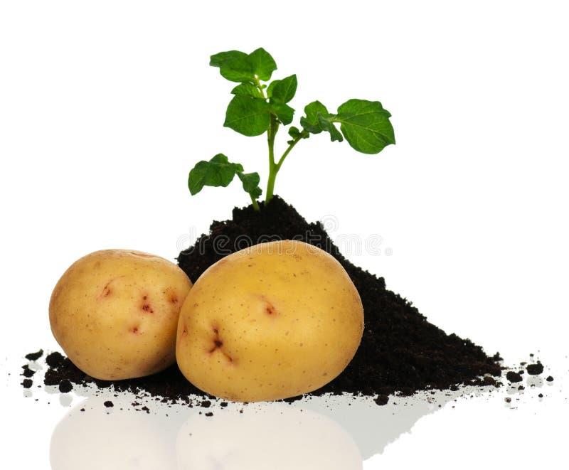 Potatisar med grodden arkivfoton