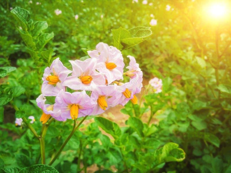 Potatisblommorna är vita, oskarpa bakgrunden till de naturliga odlingsförhållandena. royaltyfri fotografi