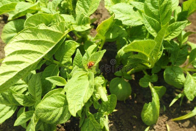 Potatisbuskar på koloni royaltyfri fotografi