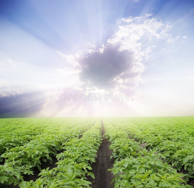 Potatisfält royaltyfria bilder