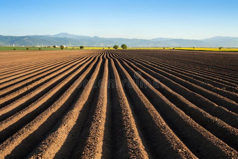 Potatisfält i den tidiga våren, når att ha sått - med fårakörning royaltyfria bilder