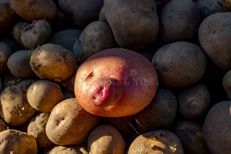 Potatisfrukt i form av en framsida royaltyfri fotografi