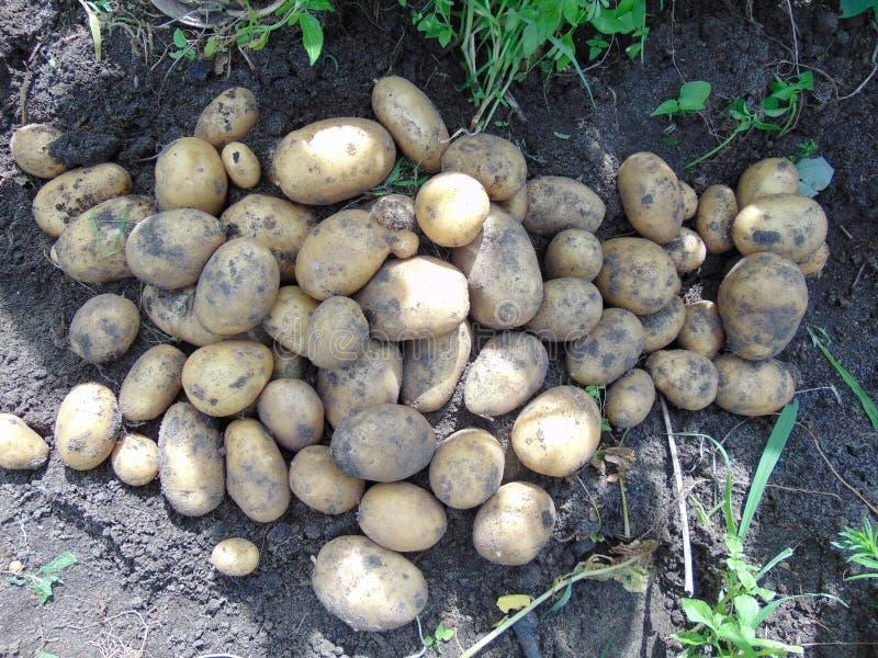 Potatisskörd på fältet royaltyfria bilder