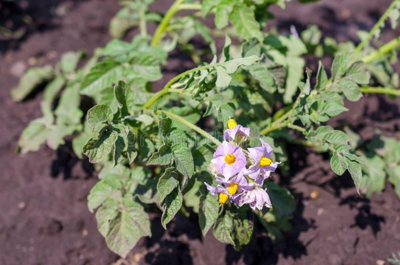 Potatisväxt med blommor på grönsaksängen royaltyfria foton