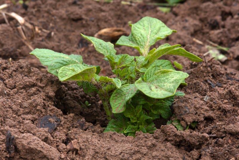Potatisväxt som växer i grönsakträdgården arkivfoto