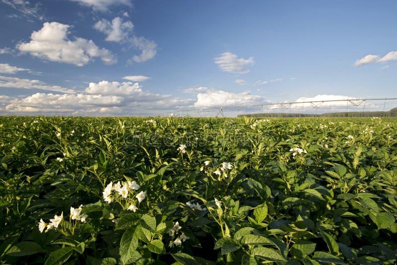 Potatisväxten blommar på den soliga dagen, Midwest, USA royaltyfria bilder