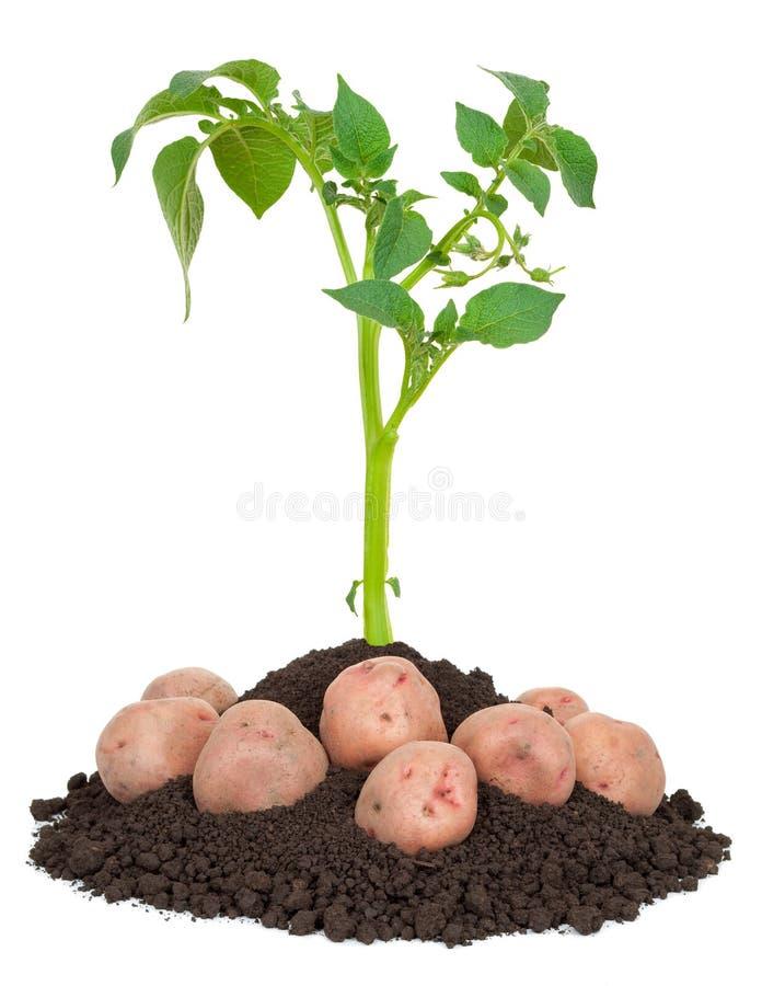 Potatisväxter royaltyfria foton