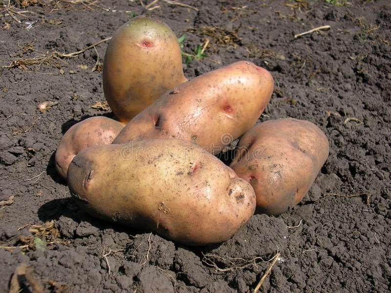 Download Potato stock image. Image of carbohydrate, brown, diet - 4886917
