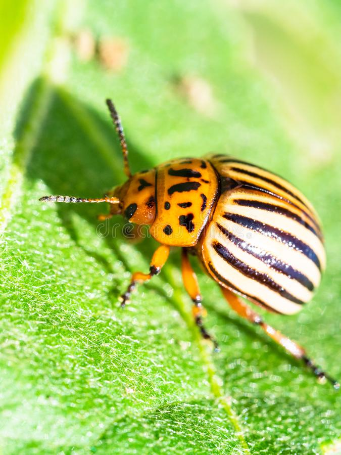 Potato beetle on green eggplant leaf close-up. In garden on sunny summer day stock photography