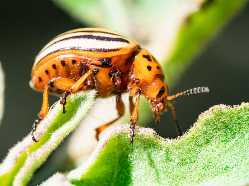Potato bug on eggplant leaf close-up in garden. On sunny summer day royalty free stock image