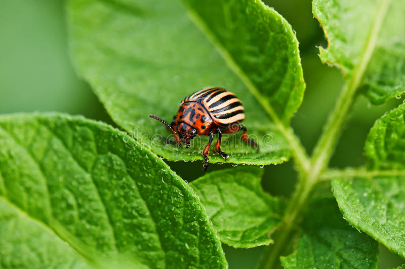 Potato bug. On green leaves royalty free stock images