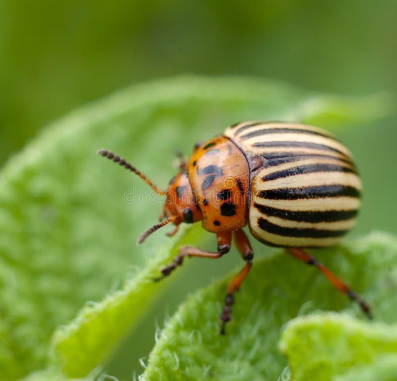 Potato bug. On green sheet stock image