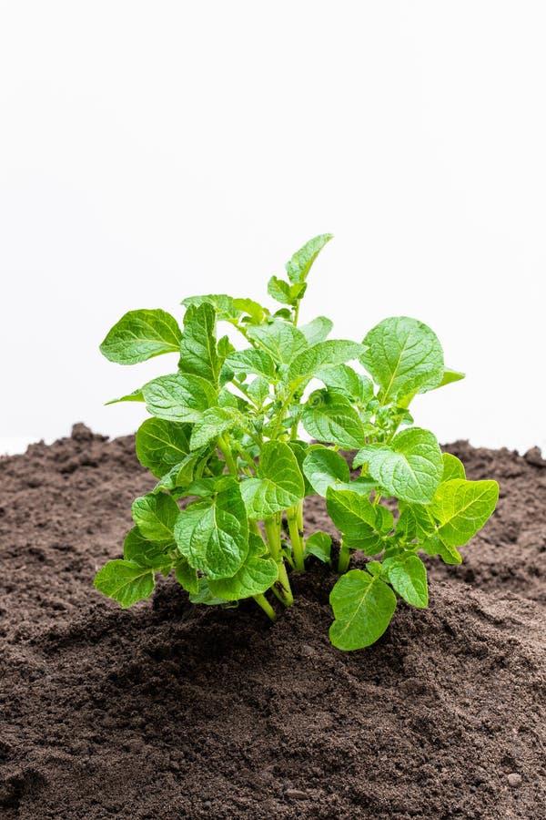 Potato bush without flowers in soil isolated on white stock photos