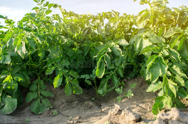 Potato bushes grow in the field. Vegetable rows. Agricultural grounds. Crops Fresh Agriculture Farming Farm. Potatoes.  royalty free stock images