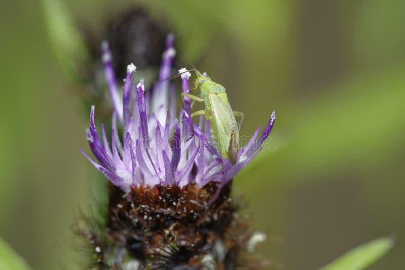 Potato Capsid Bug. Closterotomus norwegicus.on Common or Black Knapweed - Centaurea nigra stock photos