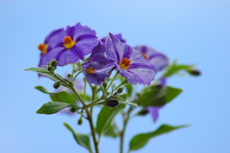 Download Potato creeper stock photo. Image of blue, potato, aartappelklimop - 1155086