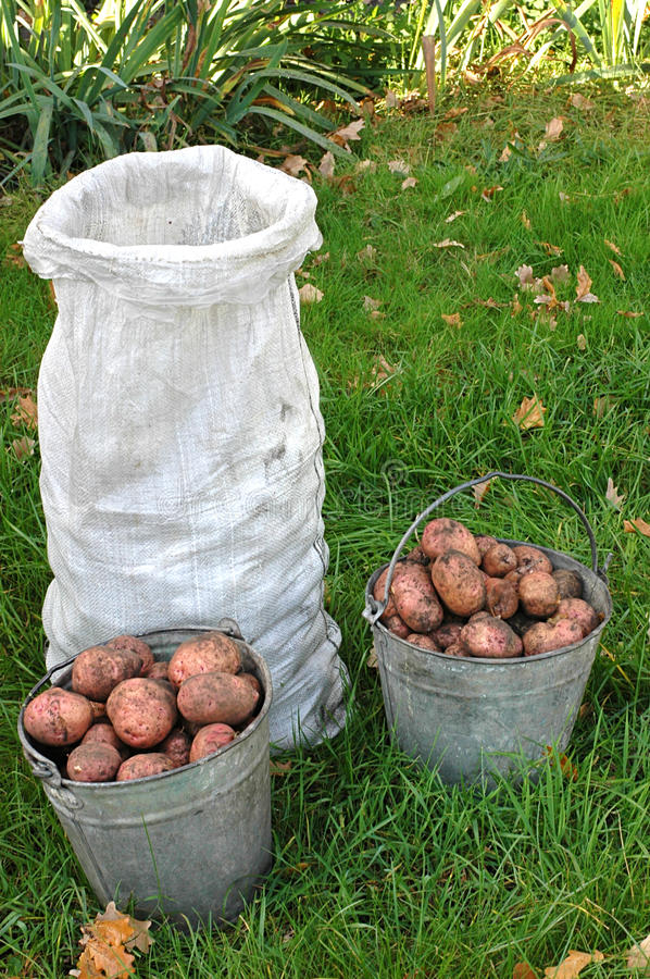 Download Potato  crop stock photo. Image of nobody, brown, food - 26373722