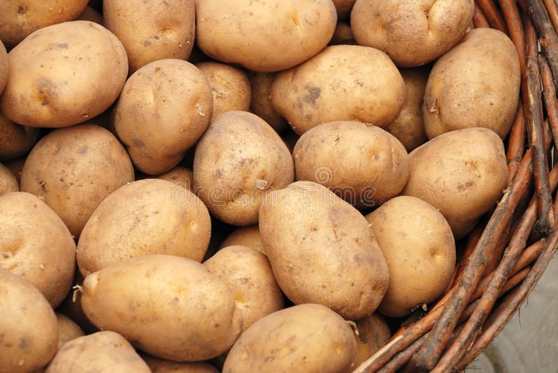 Potato crop in a basket royalty free stock photography