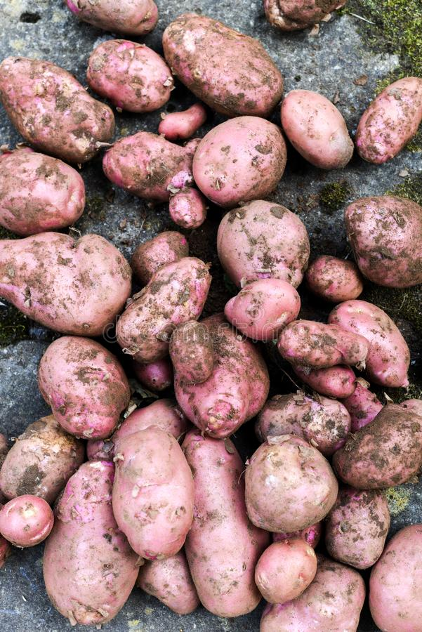 Potato crop freshly picked orgnic potatoes from home grown vegetable patch. Heap of fresh red potatoes royalty free stock photography