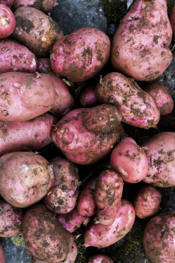 Potato crop freshly picked orgnic potatoes from home grown vegetable patch. Heap of fresh red potatoes royalty free stock photos