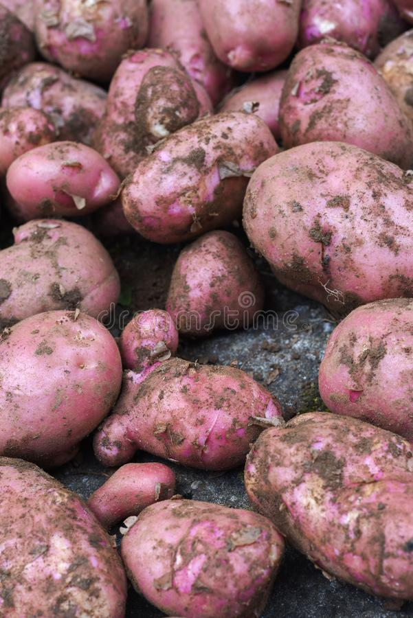 Potato crop freshly picked orgnic potatoes from home grown vegetable patch. Heap of fresh red potatoes stock image
