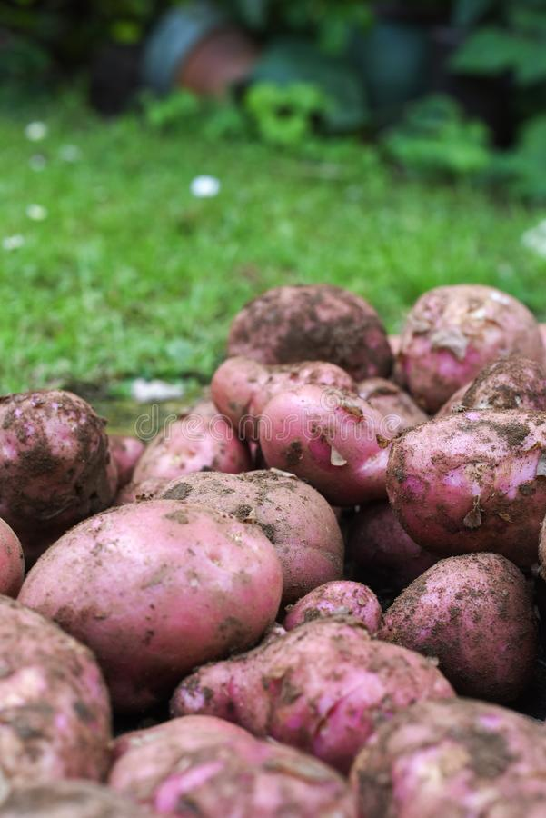 Potato crop freshly picked orgnic potatoes from home grown vegetable patch. Heap of fresh red potatoes outside with copy space royalty free stock image