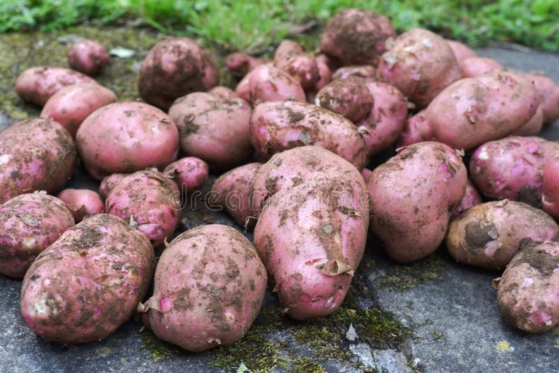 Potato crop freshly picked orgnic potatoes from home grown vegetable patch. Heap of fresh red potatoes outside with copy space stock photos