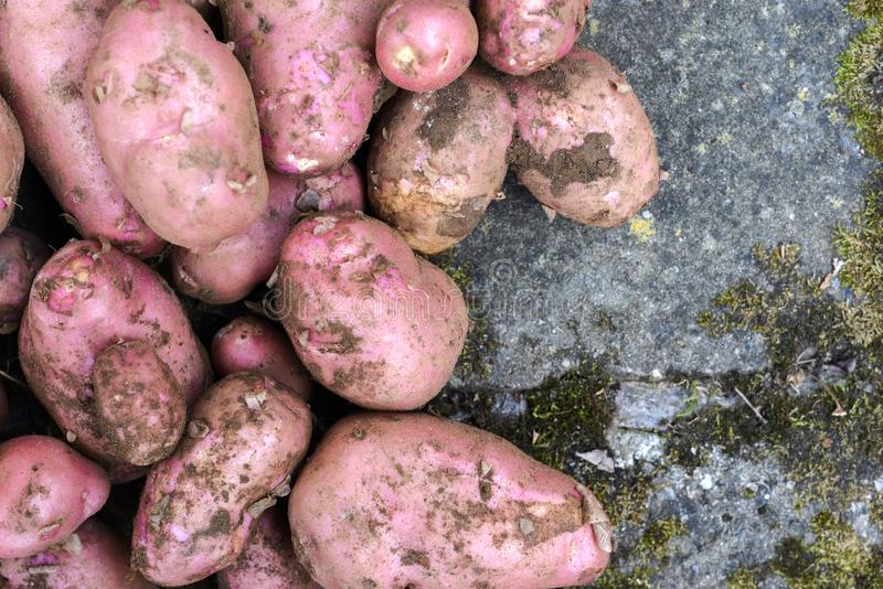 Potato crop freshly picked orgnic potatoes from home grown vegetable patch. Heap of fresh red potatoes outside with copy space royalty free stock photo