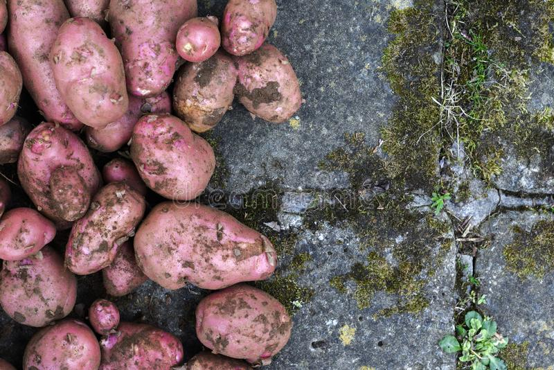 Potato crop freshly picked orgnic potatoes from home grown vegetable patch. Heap of fresh red potatoes outside with copy space royalty free stock photography