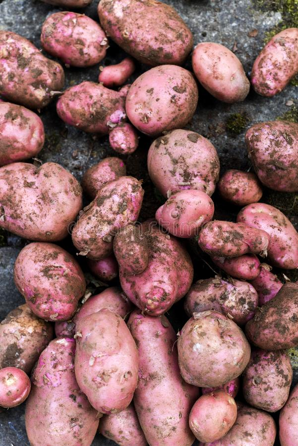 Potato crop freshly picked orgnic potatoes from home grown vegetable patch. Heap of fresh red potatoes outside with copy space stock photo