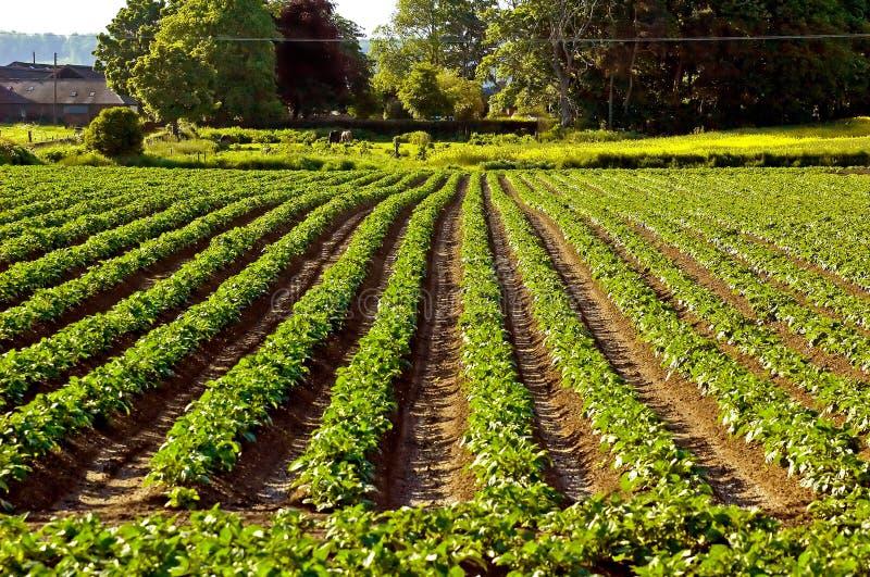 Potato Field royalty free stock photos
