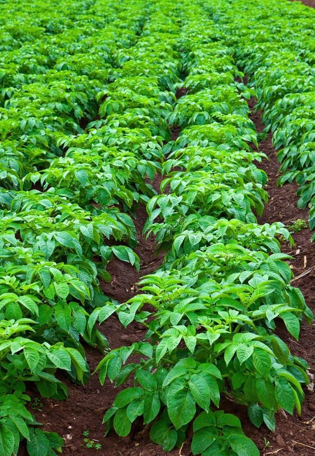 Free Potato Field Stock Photos - 18595663