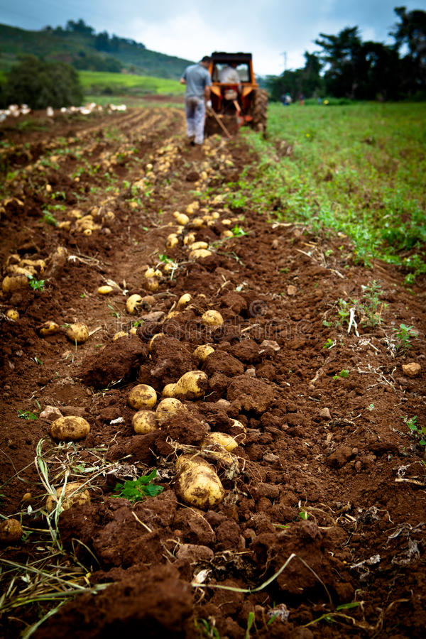 Download Potato field stock image. Image of feature, environmental - 19741251