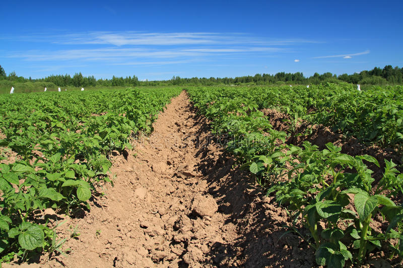 Download Potato Field Royalty Free Stock Images - Image: 25564639