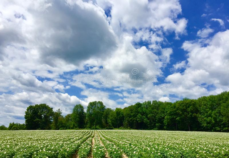Potato field in bloom royalty free stock image